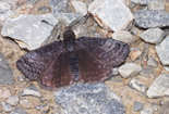 Dreamy Duskywing - Pockwock Road, 2013-06-19