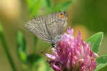 Gray Hairstreak - River Bourgeois, 2013-07-22