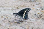 Black Swallowtail - Miners Marsh, NS, 2013-07-26