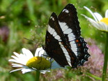 White Admiral - Apple River, NS, 2013-07-13