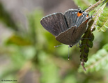 Gray Hairstreak - Black River Lake (Methals Road), 2009-06-04