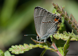 [Gray Hairstreak image]