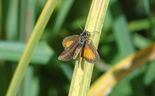 Least Skipper - Miners Marsh, NS, 2013-08-24