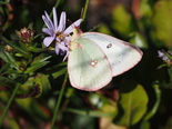 Clouded Sulphur - Brier Island, 2013-09-19