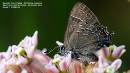 [Banded Hairstreak image]