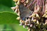 Banded Hairstreak - Kentville, N.S., 2014-07-10