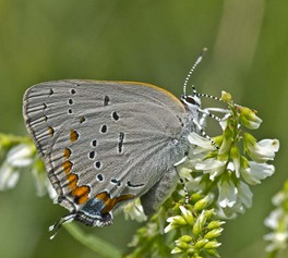 [Acadian Hairstreak image]