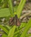 Common Roadside-Skipper - Pockwock Road, 2014-07-02