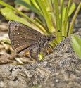 Dreamy Duskywing - West of Mt. Uniacke, 2014-06-02