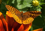 Great Spangled Fritillary - Shelburne, 2014-07-14