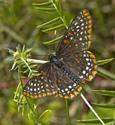Baltimore Checkerspot - Sheepherder's Jct., Pictou Co., 2015-07-20