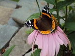 Red Admiral - Hammonds Plains, NS, 2010-08-10