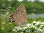Banded Hairstreak - Dartmouth, 2017-07-20