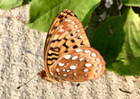 Great Spangled Fritillary - Gilberts Cove, NS, 2018-08-25